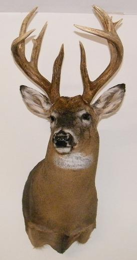 Deer Mounts Mule Deer European Mount